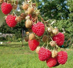 Малина садовая Арома Куин (в тубе) Rubus idaeus