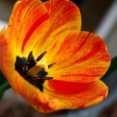 Ликвидация осеннего склада Экспресс от 12 руб — Тюльпаны простые ранние ликвидация остатков от 12 руб