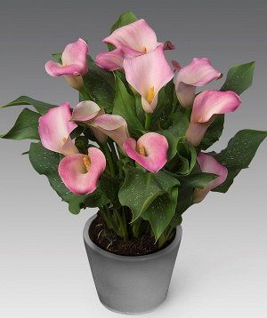 Калла Цвет: Pink. Вид: Pot. Цвет цветка/плода Розовый Высота растения 35-45 см