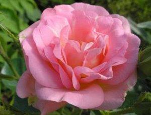 Роза Marie-Victorin