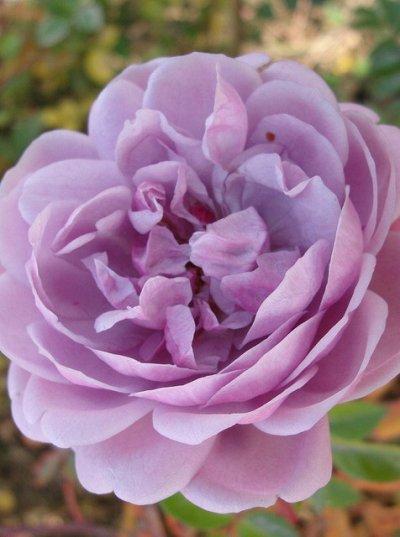 Чайно-гибридные и клумбовые розы_Весна 21 — Розы клумбовые — Рассада и саженцы