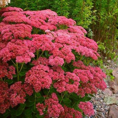 Однолетние растения от Виктории. Раздача с 10 июня и раньше — Многолетние растения — Сад и огород