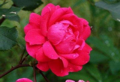 Леди роза — шикарные розы, предзаказ весна 2022 — Канадская селекция