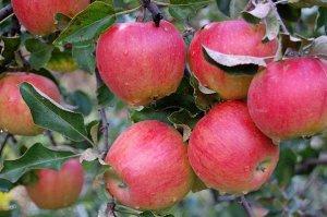 Яблоня Слава Приморья