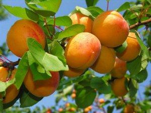 Абрикос Созревает в начале августа. Плоды довольно крупные, округло-конусовидные, слегка сжатые с боков, бледно-желтые, со сплошным или точечным румянцем. Мякоть густая, сочная, желто-оранжевого цвета