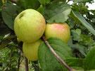 Яблоня Зеленка Сочная