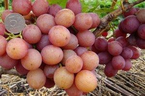 Виноград Ливия Комбелл