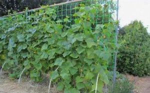 Ф-170/2/10 Шпалерная сетка для огурцов применяется для вертикального выращивания однолетних овощных культур (огурцы, горох, фасоль, кабачки). Размер ячейки 150х170мм, размер рулончика 2х10м. Упаковыва