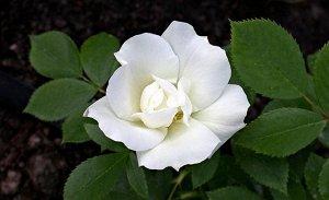 Морден Сноу Бьюти(Morden Snowbeauty) Канадская роза