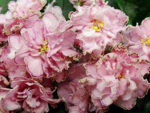 Фиалка Крупные махровые розово - персиковые цветы с нарядной малиновой и контрастной зеленоватой каёмочками. Стандартная розетка из тёмных, чуть волнистых листьев.