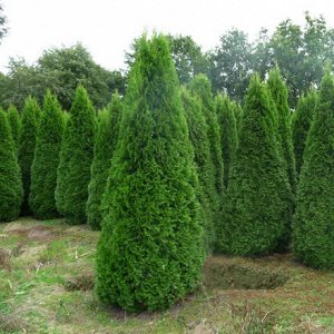 Туя западная Смарагд (Р10,5) Thuja occidentalis Smaragd