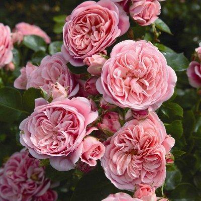 Розы Tantau и плодовка в наличии — Розы Tantau — Декоративноцветущие