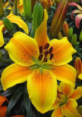 Пакетированные многолетники!олетники! — Лилии — Семена цветов