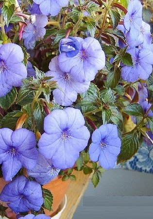 Пакетированные многолетники!олетники! — Бегонии — Семена цветов