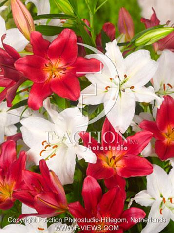 Лилии для террасы подготовленные к цветению_Экспресс — Коллекция садовых лилий редкие сорта размер L — Декоративноцветущие