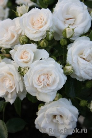 Роза аспирин4л контейнер