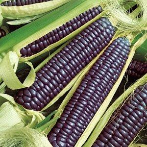 ПС Кукуруза Виолетта F1~3735