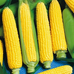 ПС Кукуруза Золотой урожай F1~2679