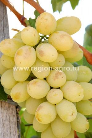 Виноград плодовый Лора, очень ранний, крупный