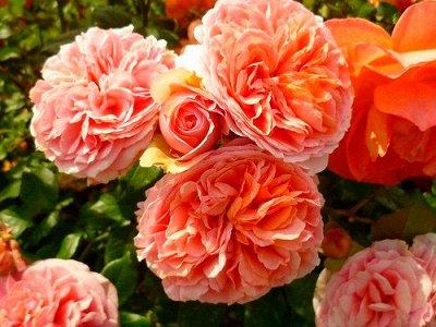 Чайно-гибридные и клумбовые розы_Весна 21 — Розы парковые/кустовые — Декоративноцветущие