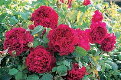 Чайно-гибридные и клумбовые розы_Весна 21 — Английские кустовые розы — Декоративноцветущие