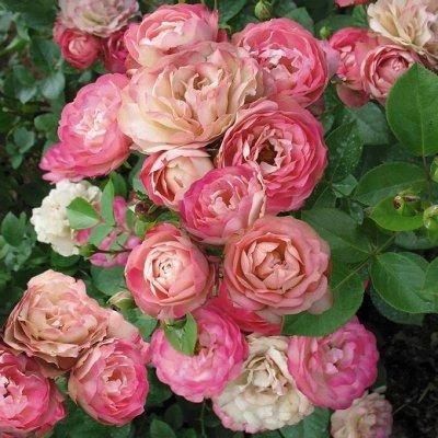 Чайно-гибридные и клумбовые розы_Весна 21 — Флорибунда — Декоративноцветущие