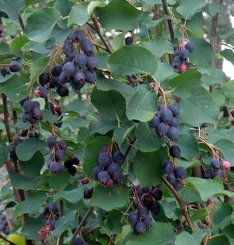 Гортензия, плодовые, декоративные,хвойные саженцы.Предзаказ — Саженцы ягодные. Ирга — Плодово-ягодные