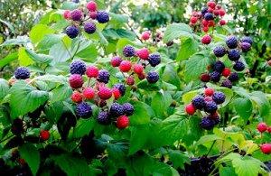 """Ежевика Малина черная """"Кумберленд""""  - устойчивый малино-ежевичный гибрид. Ягоды средней величины, при созревании черные с синеватым отливом. Плоды сладкие. Очень урожайный сорт. Укрытие на зиму не тре"""