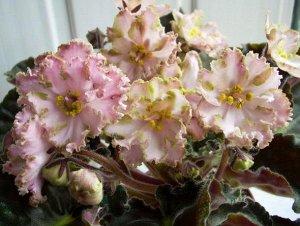 Фиалка Необычной формы простые и полумахровые светло - розовые цветы. По краю лепестки окрашены в розово - лиловые и зелёные переходящие друг в друга цвета. Аккуратная розетка, обильное цветение
