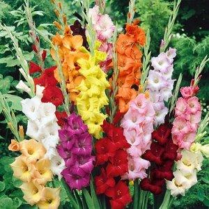 Гладиолус Смесь Крупноцветковых (Код: 82140)