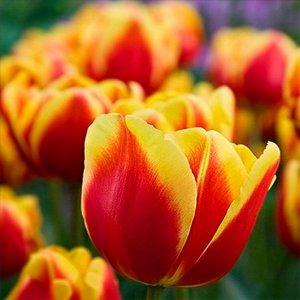 Дания Триумф-тюльпаны -  для тюльпанов этого класса характерны крупные бокаловидные цветки, довольно высокие цветоносы (40-70см) и хороший коэффициент размножения. Окраска цветов у тюльпанов этого кла