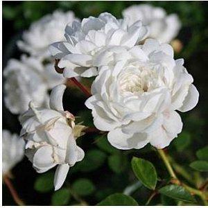 Сноу Балет Бутон округлый, зеленовато-кремовый, распускается медленно. Цветы чисто-белые, от чашевидных до плоских, средние (до 6 см), густомахровые (77-80 лепестков), с сильным ароматом шиповника, в