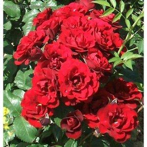 Хансаланд Великолепный сорт, подходит для посадки в живой изгороди, с красивыми сияюще-красными цветками. Цветки средних размеров, полумахровые, появляются в небольших кистях на концах сильных колючих