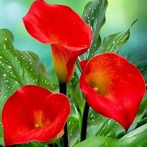 Калла Цвет: Red.  Вид: Pot  Окраска цветка: красная.       Высота растения: 40-50 см. Цветение: