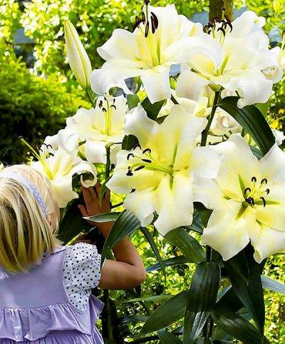 Лилии для террасы подготовленные к цветению Экспресс — Гибридные лилии-деревья размер луковиц L, 2XXL
