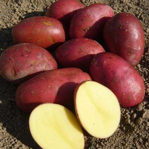 Картофель Маяк