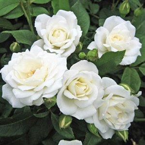 Айсберг Цветки белые, красивой формы. Диаметром 7-9 см. В кистях может быть до 30 бутонов. Цветение обильное и продолжительное. Может цвести на побегах текущего года, если прошлогодние не сохранились.