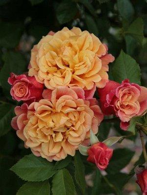 Алоха Окрас цветка необычный: абрикосовый переходит в розовый и может заканчивается красным. У полностью распущенного цветка виден пучок золотисто-медных тычинок. Размер цветка в диаметре – 10 см. Цве