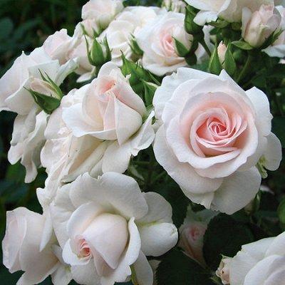 Розы Сибири !  Редкие Сорта🌹 Предзаказ Весна 2021 — Флорибунды  — Декоративноцветущие