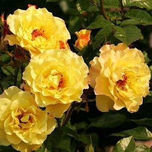 Ругельда Цветок лимонно-желтый с красными волнистыми краями лепестков, чашевидный, густомахровый, 70 - 75  лепестков  в  одном цветке, чашевидный, диаметр цветка  9 см, обладает насыщенным ароматом ши