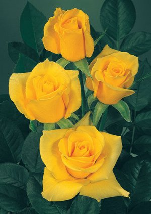 Старлайт Бутон остроконечный, стройный. Цветки золотисто-желтые, концы лепестков беловатые, с высоким центром, махровые (30-35 лепестков), душистые. Листья темно-зеленые, блестящие. Кусты прямые, густ