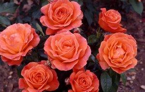 Феллоушип Цветки светящегося бледно-оранжевого или темно-абрикосового цвета, со слегка более бледной оборотной стороной, и более желтые к центру. Сохраняют окраску в жару и дождь. Они идеальной округл