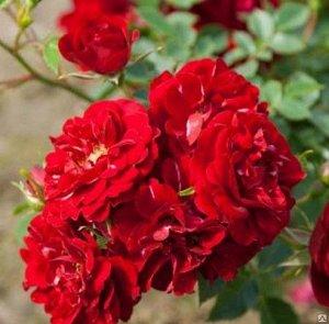 Фэйри Данс Цветки темно-розовые или малиновые,полумахровые, появляются в большом количестве, в кистях по 5-15 штук. Размер цветка 3-4 см. Высота куста 50-60 см.  Листва мелкая, темно-зеленая, блестяща