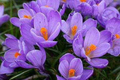 Ликвидация осеннего склада Экспресс от 12 руб — Крокусы, мускари и другие первоцветы