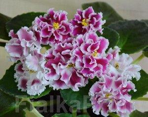 Фиалка Цветы сильно махровые, округлые ярко - малиновые с белой каймой и центром. По мере роспуска цветок становится более ярким и насыщенным.