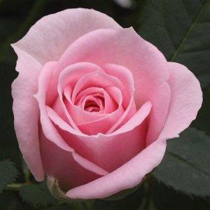 Роза миниатюрная Джувел розовая