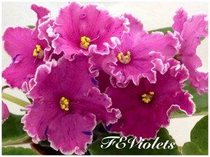 Цветущее растение фиалка ЛЕ-Коломбина