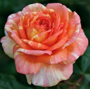 Ля роз дез Апрессионист Флорибунда