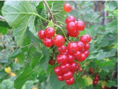 Саженцы жимолости, малины,смородины - осень №14.Есть скидка! — Смородина красная (2х летки) — Плодово-ягодные