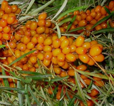 Саженцы жимолости, малины,смородины - осень №14.Есть скидка! — Разное: облепиха,рябина, калина, черемуха и др. — Плодово-ягодные